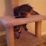 Formerly Feral - Acrobat Cat