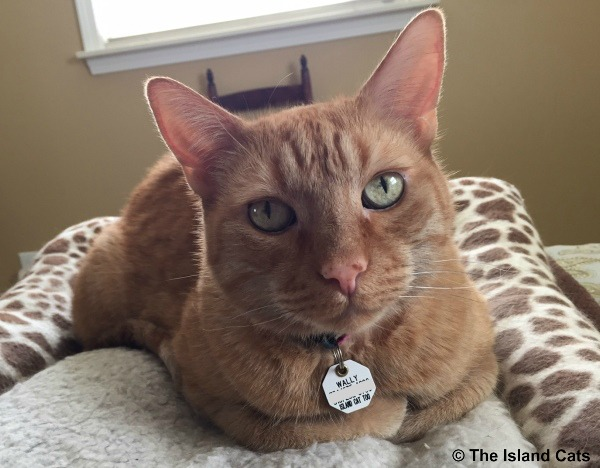 I'm a handsome orange tabby cat