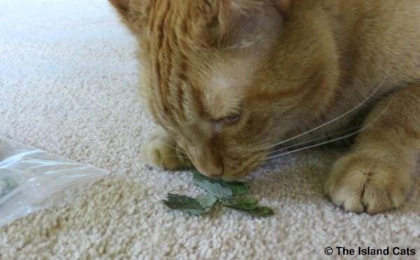 Wally with fresh catnip