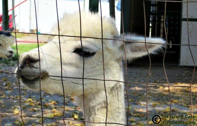 Close up of alpaca at Gibraltar Alpaca Farm