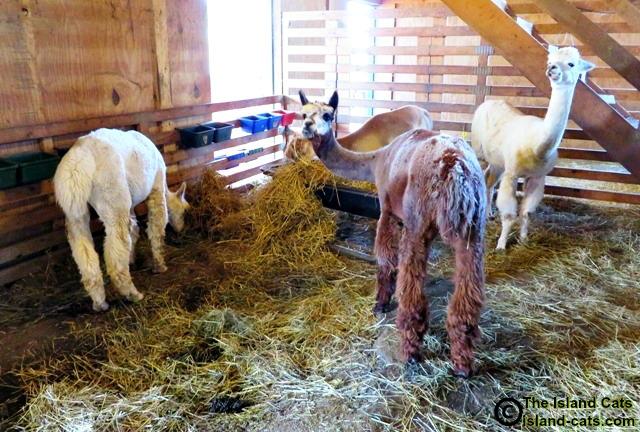 The girl alpacas at Gibraltar Alpaca Farm