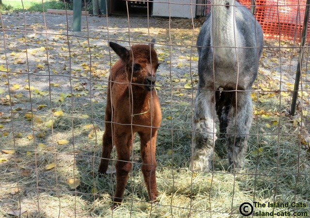 Baby alpaca at Gibraltar Alpaca Farm