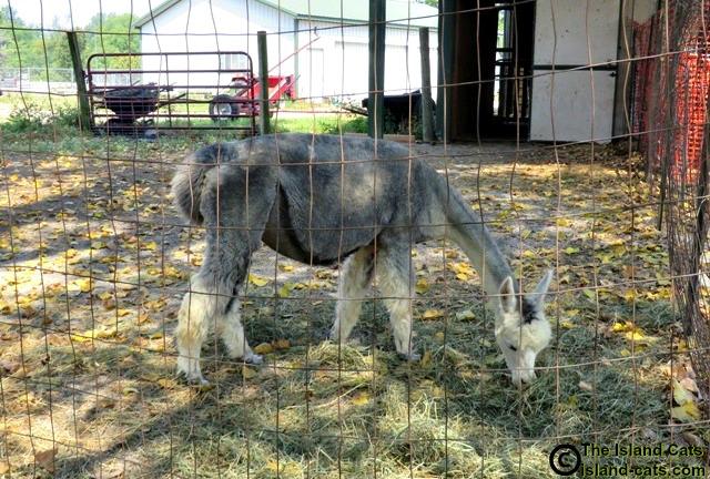 Pregnant alpaca at Gibraltar Alpaca Farm