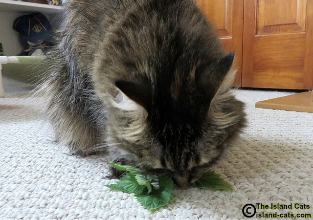 Cat eating fresh catnip