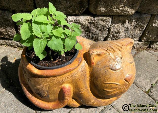 Catnip planter
