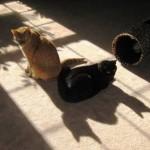 ManCats - 2 Headed Cat