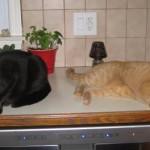 Hungry Mancats