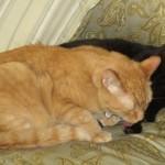 Mancats - Top Cat