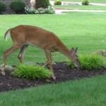 Mancats - Vishus Deers