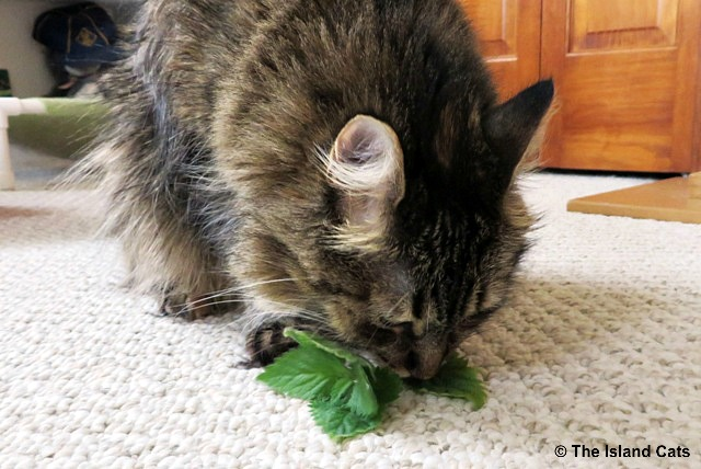zoey-eating-nip