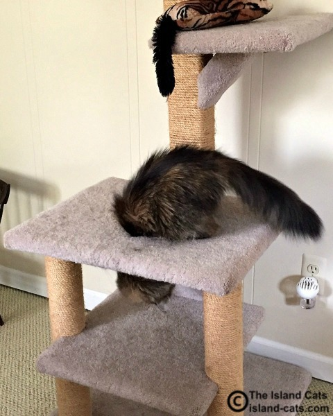 Zoey on cat tree