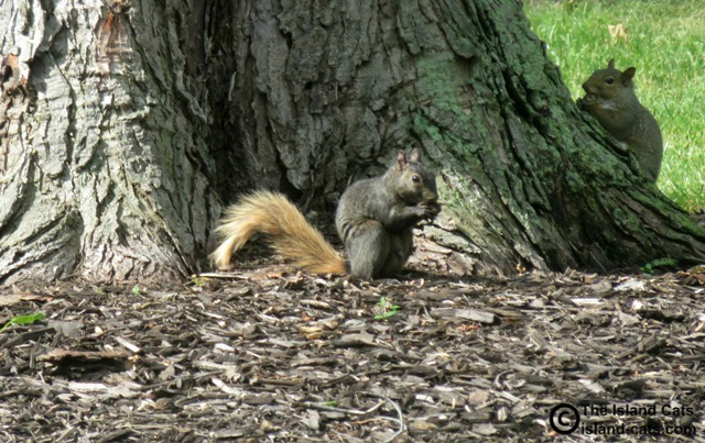 A two-toned squirrel