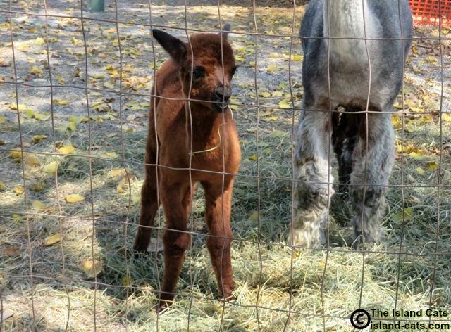 Baby alpaca at alpaca farm on Grosse Ile