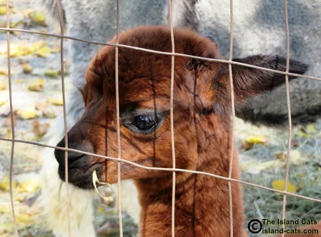 Baby alpaca selfie
