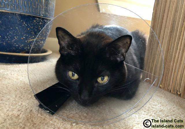 Cat wearing plastic e-collar