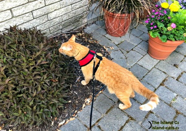 Cat on harness and leash