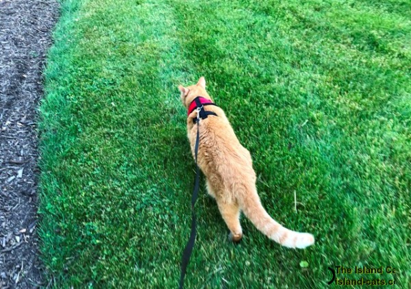 Cat walking on harness and leash