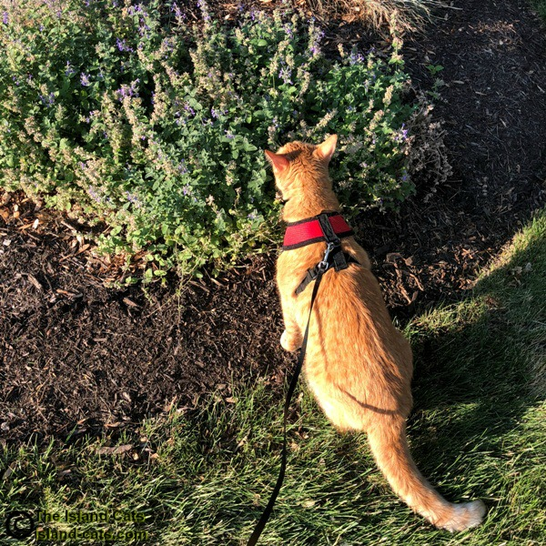 Cat smelling catmint plant