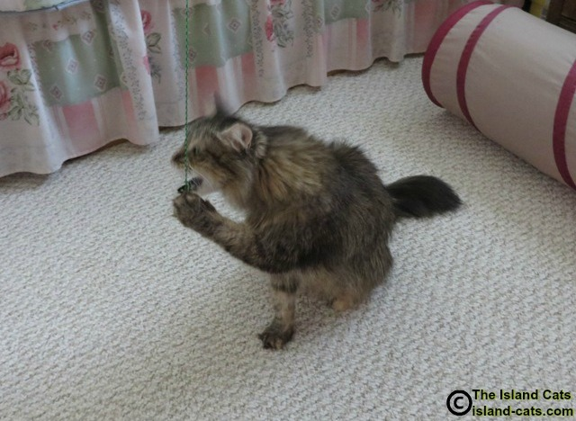 Cat playing with Neko Fly