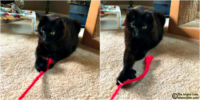 Cat playing with string