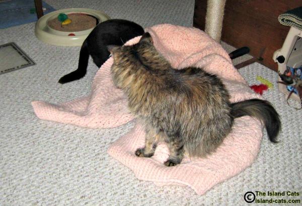 Cat hiding under blanket