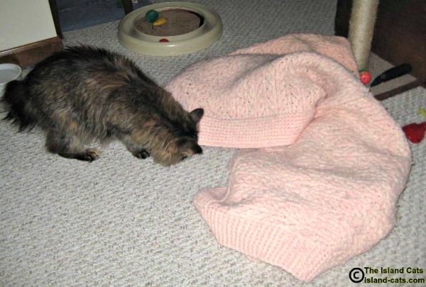 Cat looking under blanket