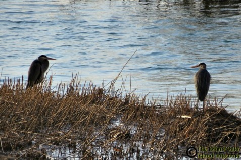 Two herons sitting