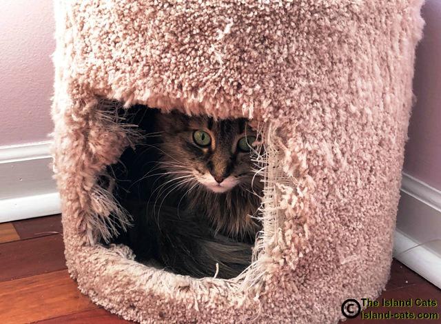 Cat in cat condo