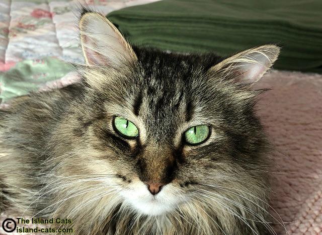torbie cat up close