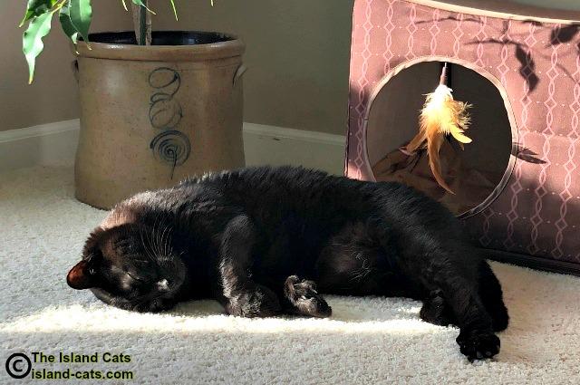 black cat laying in sun