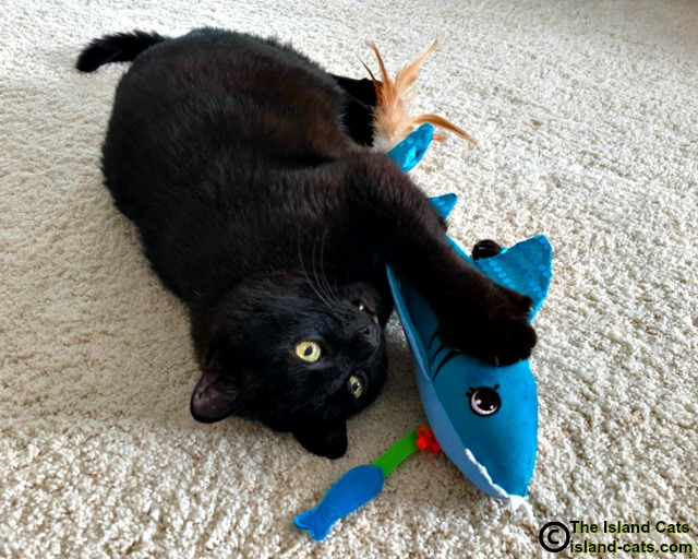 cat with toy shark
