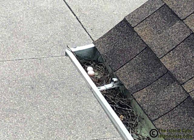 mourning dove nest in gutter