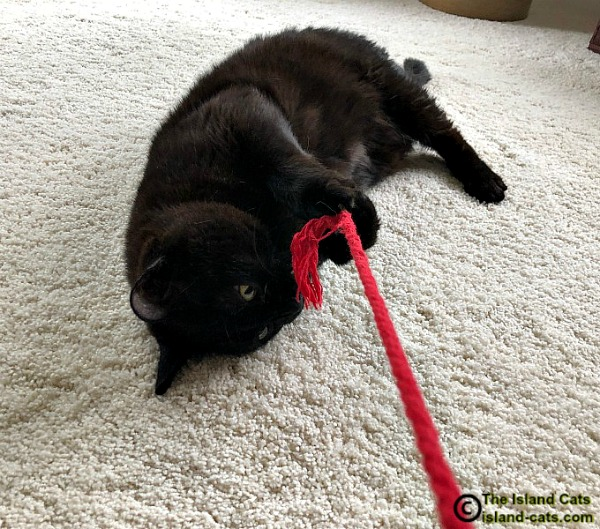 black cat playing with string