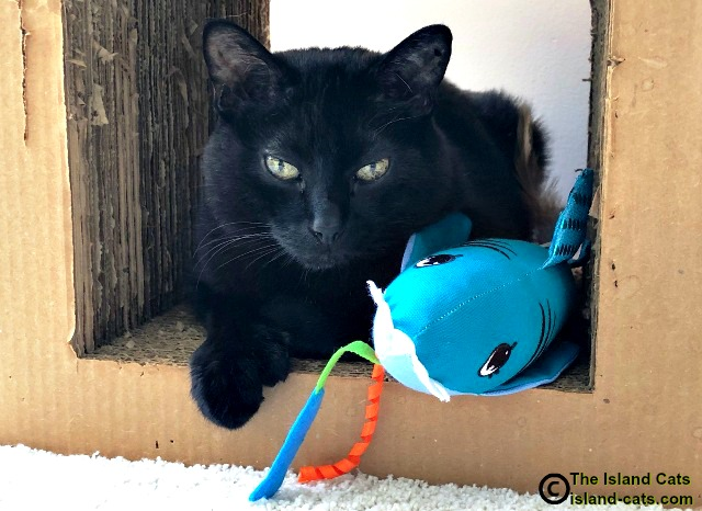 black cat with shark
