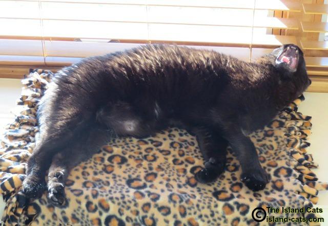 black cat yawning