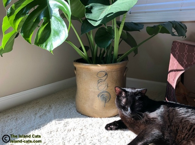 black cat with monstera deliciosa