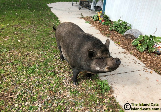 Lucille the pig at Froggie's Pond