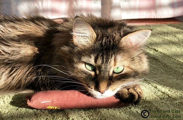 Zoey lying on her catnip cigar