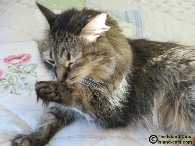 Cat washing her paw
