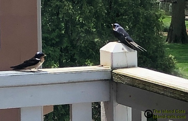 picture of two barn swallows
