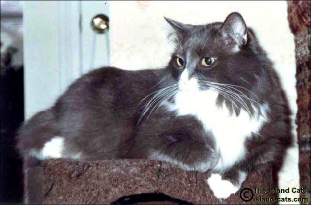 Bogart, gray and white long-haired cat