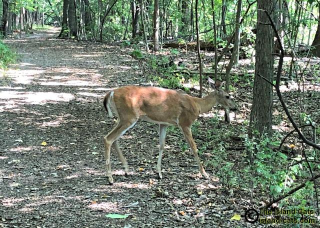 deer walking across path