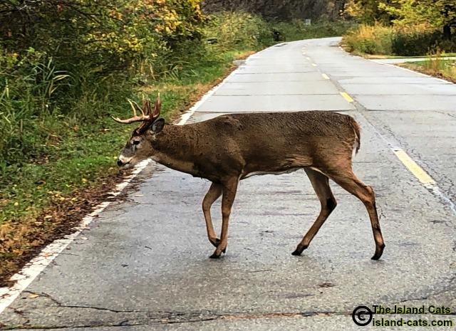 Big deer crossing the road