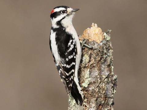 picture of downy woodpecker