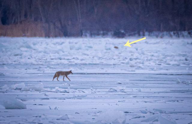 Coyote circling dog