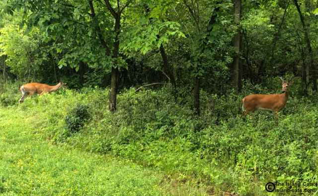 Two deer standing in the woods