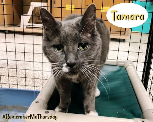 Tamara, grey cat at shelter